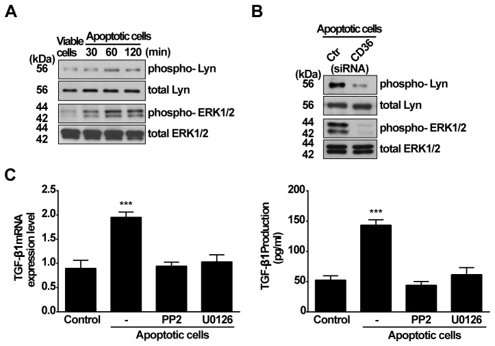 Lyn kinase and ERK1/2 are involved in CD36 mediated TGF-β1 induction by apoptotic cells. A, RAWTβRII cells were cultured in the presence of viable or apoptotic Jurkat cells for the time indicated. Total cell lysates were used for analyzing phosphorylation of ERK1/2 MAPK and Lyn kinase by Western blotting. B, RAWTβRII cells transfected with CD36-target siRNA or control siRNA (Ctr siRNA) for 24 h were incubated with apoptotic Jurkat cells for 60 or 90 min to analyze phosphorylation of Lyn kinase or ERK1/2, respectively. C, RAWTβRII cells were preincubated with PP2 (30 µM) or U0126 (1 µM) for 2h and then co-cultured with apoptotic Jurkat cells. TGF-β1 mRNA expression or secreted TGF-β1 protein was analyzed as in Figure 1. Values represent means ± SD of six separate experiments. ***, P