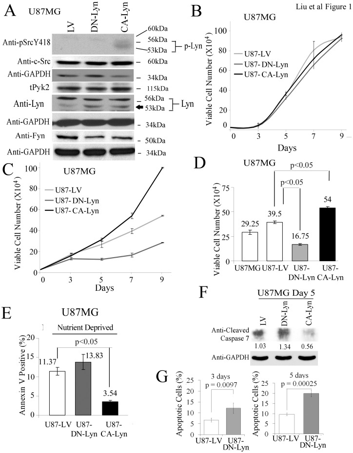 Expression of CA-Lyn promotes the survival of nutrient-deprived U87 human GBM cells. U87 human GBM cells expressing CA-Lyn, DN-Lyn or LV control were plated in DMEM with L-glutamine and 10% FBS. After 12 h, nutrient deprivation was induced by replacing the medium with L-glutamine- and FBS-free DMEM with 1% BSA. A, After 48 h of nutrient deprivation, whole cell lysates were western blotted with the indicated antibodies. B-D, After 7 days of nutrient deprivation, cell viability was determined by trypan blue exclusion (B–D) and apoptosis by FACs analysis of Annexin-V-labeled cells (E), blotting for cleaved caspase-7 (F), or FACS analysis for Annexin-V and propidium-iodide-labeled cells (G). B–E, and G, Conditions were assayed in replicas of 3 or 4, and the data analyzed and plotted as the mean±SEM. D E, Statistical analysis using one-way ANOVA. G, Statistical analysis using t-test.