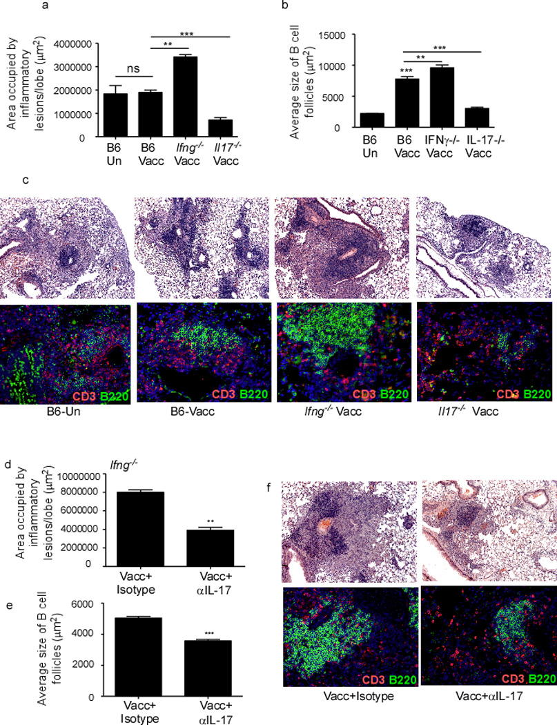 IL-17, but not IFNγ is crucial for lymphocytic infiltration, B cell lymphoid follicle and granuloma formation in lungs of mucosally vaccinated Mtb -challenged mice B6, Ifng −/− and Il17 −/− were mucosally vaccinated with ESAT6 1–20 in combination with LT-IIb (Vacc) and rested for 30 days, then challenged with ~100 CFU Mtb by the aerosol route. On day 30 post challenge, formalin fixed lung samples were stained with H E or CD3 (red) B220 (green) and the area occupied by granuloma as inflammatory lesions (a) and B cell lymphoid follicles (b) quantified using the morphometric tool of the Zeiss Axioplan microscope. Representative pictures of inflammatory lesions (c-top panel) and B cell lymphoid follicles (c-bottom panel) are shown. Original magnification for H E sections, 100X, B cell follicles, 200X. Ifng −/− mice were vaccinated, rested, Mtb -infected and treated with isotype control antibody or treated with IL-17 neutralizing antibody between day 5 and 21 (100 µg/mouse every 48 hours), and sacrificed on day 30 post infection. Formalin fixed samples were stained with H E or CD3 (red) B220 (green) and the area occupied by inflammatory lesions /lung lobe (d) and average size of B cell lymphoid follicles harboring CD3 + lymphocytes (e) was quantified by using the morphometric tool of the Zeiss Axioplan microscope. Representative figures showing inflammatory lesions (f-top panel) and B cell lymphoid follicles (f-bottom panel) are shown. The data points represent the mean (±SD) of values from 4–6 mice (a–f). **≤0.005, ***p≤0.0005. One experiment representative of two is shown.