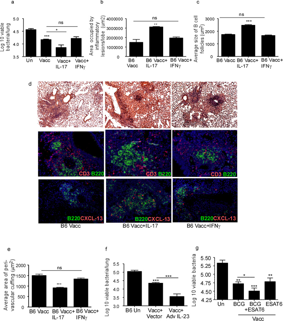 IL-17 improves the protective efficacy of mucosal vaccination following Mtb challenge B6 mice were mucosally vaccinated with ESAT6 1–20 in LT-IIb, rested and challenged with Mtb as described in Figure 1 . Vaccinated Mtb -challenged mice either received PBS, rIL-17 or rIFNγ (1.5 µg per mouse) intratracheally from day 5 to day 17 post-infection during recall response and the lung bacterial burden was determined on day 30 post vaccination (a). On day 30 post-infection, formalin-fixed, paraffin embedded lung sections were stained with H E or CD3 (red), and B220 (green). Area occupied by inflammatory lesions/lung lobe (b), B cell lymphoid follicles (c) was quantified using the morphometric tool of the Zeiss Axioplan microscope. The representative figure showing a typical inflammatory lesions (d-top panel), B cell follicle (d-middle panel) and CXCL13 expression within B cell follicles (d-bottom panel) is included. The average area of perivascular cuffing from the above mentioned groups were quantified (e). One group of mucosally vaccinated B6 mice received control adenovirus expressing luciferase vector (Vacc+Vector) while a second group received adenovirus overexpressing IL-23 (Vacc+Ad IL-23) (5×10 8 pfu) on the day of vaccination. Mucosally vaccinated and unvaccinated mice were rested and challenged with Mtb and lung bacterial burden was determined on day 30 post infection (f). B6 mice were either subcutaneously vaccinated with 1×10 6 M.bovis BCG, mucosally vaccinated, or subcutaneously vaccinated with M.bovis BCG followed by a period of rest for 30 days and boosted mucosally as described under methods. All groups of mice were then rested for 30 days and challenged with Mtb as described in Figure 1 and lung bacterial burden was determined on day 30 post infection (g). Original magnification for H E sections, 100X; immunofluorescent sections, 200X. The data points represent the mean (±SD) of values from 4–6 mice (a–g). *p≤0.05, **≤0.005, ***p≤0.0005. One experiment representative of two is shown. ns-not significant.