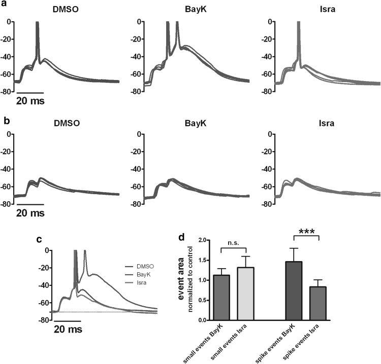 """Effect of LTCC activity on EPSPs-2. Pharmacological potentiation of LTCCs augments (short) super-threshold synaptic potentials (""""spike events,"""" a ) and promotes the formation of depolarization shifts (see middle traces in a ), but at the same time leaves sub-threshold EPSPs (""""small events,"""" b ) unaltered. Isradipine reverses the effect of BayK. Each graph shows an overlay of 5 arbitrarily chosen EPSPs recorded in DMSO ( dark blue traces ), BayK ( green traces ) and isradipine ( red traces ). c Overlay of representative traces from this experiment recorded under the three experimental conditions. d Statistical comparisons of small event and spike event data, respectively, from a total of 12 experiments identical to the one illustrated in a – c (see main text for details). n.s. indicates a lack of statistical significance, *** P value"""