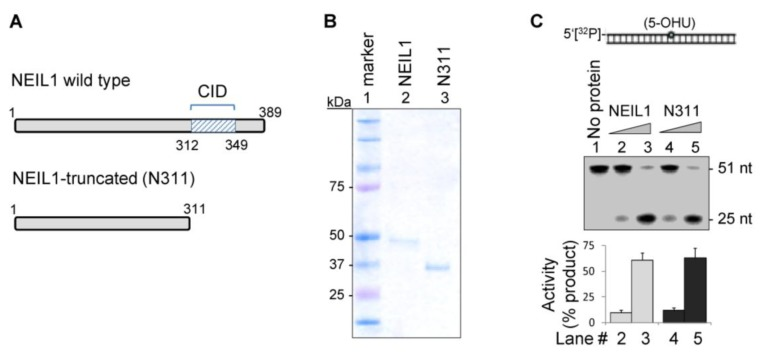 NEIL1's common interaction domain (CID)-containing C-terminus is dispensable for DNA glycosylase activity in vitro. Recombinant wild-type (WT) and truncated (N311) mutant of NEIL1 (A; Coomassie-stained gel in B) show similar DNA glycosylase/AP lyase activity with a 5-OHU-containing 5'- 32 P-labeled 51-mer oligonucleotide duplex substrate to produce 25 nt oligo (C). Lanes 2 and 3: 10 and 50 fmol WT NEIL1; lanes 4 and 5: 10 and 50 fmol N311 mutant.