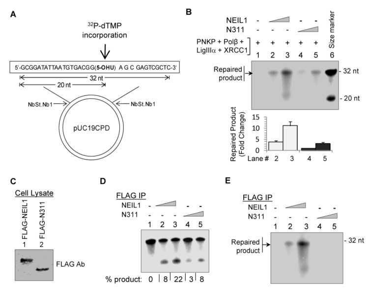 NEIL1's CID is required for efficient repair of oxidized DNA lesions. (A) Repair of the <t>5-OHU-containing</t> plasmid was monitored by the incorporation of 32 P-dTMP and analysis of a 32 nt Nt.BstNB1 restriction repaired fragment after denaturing gel electrophoresis [ 18 , 38 ]. (B) In vitro reconstitution of NEIL1-intitiated SN-BER with purified proteins (10 and 50 fmol WT NEIL1 [lanes 2 and 3] or N311mutant [lanes 4 and 5] and 50 fmol each of PNKP, Polβ, LigIIIα and XRCC1). 5'- 32 P-labeled 32 and 20-mer oligos were used as size markers (lane 6). The histogram shows quantitation of repair. (C-E) FLAG-N311 IP, with reduced DNA glycosylase activity compared to FLAG-WT NEIL1 IP (D), was extremely deficient in overall repair (E). The DNA glycosylase activity was measured with 5-OHU-duplex <t>oligo</t> and complete repair with the plasmid substrate. FLAG levels in stably expressing cells were compared by Western analysis (C).