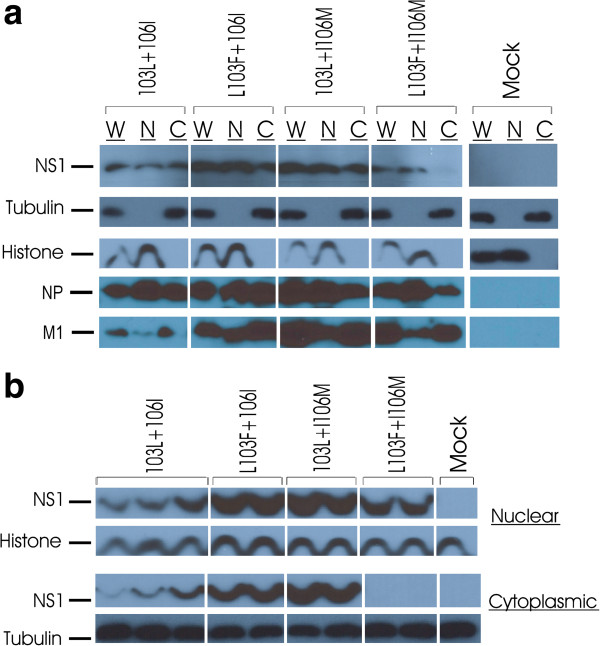"""The 103L and 106I residues in the H5N1- NS gene are associated with increased cytoplasmic localization of NS1 protein in mouse epithelial cells. Monolayers of mouse epithelial cells were infected with rPR8-H5N1-NS-103L+106I (n=3) and the three mutants rPR8-NS-L103F+106I, rPR8-NS-103L+I106M and rPR8-NS-L103F+I106M (n=2) at MOI=2 and compared to mock uninfected cells. NS1, NP and M1 proteins localization was detected by western blots using rabbit protein specific antibodies. Rabbit anti-tubulin and mouse anti-histone antibodies were used as controls for cytoplasmic and nuclear fractions respectively. a . The nuclear and cytoplasmic accumulation of NS1 protein is shown for one analysis. The whole cell lysate is designated as """"W"""", nuclear fraction as """"N"""" and the cytoplsmic fraction as """"C"""". b . Western blots showing the H5N1-NS1 protein nuclear and cytoplasmic fractions in parallel for 2–3 replicates of infected M1 cells."""