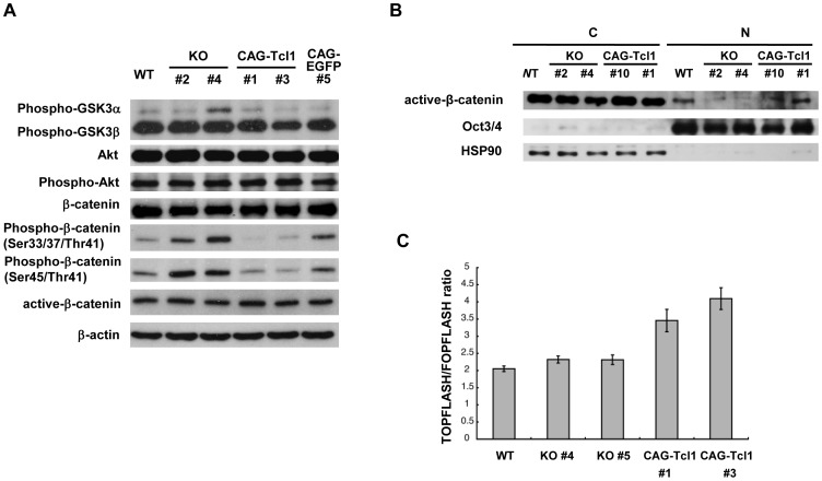 Analysis of Akt and <t>Wnt/β-catenin</t> signaling in Tcl1- deficient and -overexpressing ES cells. (A) Western blot analysis of GSK, Akt, and β-catenin in wild-type (WT), Tcl1 −/− (KO) #2 and #4, Tcl1 −/− (CAG- Tcl1 ) #1 and #3, and Tcl1 −/− (CAG-EGFP) #5 ES cells. (B) Western blot analysis of active β-catenin, Oct3/4, and HSP90 in the cytoplasmic (C) and nuclear (N) fractions of wild-type (WT), Tcl1 −/− (KO) #2 and #4, and Tcl1 −/− (CAG- Tcl1 ) #10 and #1 ES cells. Tcl1 −/− (CAG- Tcl1 ) #10 and #1 were derived from Tcl1 −/− (KO) #2 and #4, respectively. Proper fractionation was confirmed by western blotting of Oct3/4 and HSP90, which localize to the nucleus and cytoplasm, respectively. Be8cause active β-catenin levels in the nuclear fractions were much lower than those in the cytoplasmic fractions, active β-catenin in the nuclear fractions was detected by approximately two-fold longer exposure compared with that in the cytoplasmic fractions. (C) TOPflash assay. P values of wild-type ES cells (WT) compared with Tcl1 −/− (CAG- Tcl1 ) #1 and #3 ES cells were less than 0.01. P values of Tcl1 −/− (KO) #4 and #5 ES cells compared with Tcl1 −/− (CAG- Tcl1 ) #1 and #3 ES cells were less than 0.02.