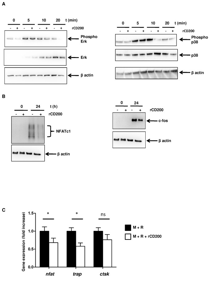 rCD200 inhibits RANKL signaling pathway. (A and B) PBMC adherent cells were cultured with M-CSF with or without rCD200 for 48 hr and stimulated for different times with RANKL. Expression of total protein levels and of the phosphorylated forms of <t>p38,</t> <t>ERK,</t> c-fos and NFATc1 was determined by Western blotting. The results of 1 experiment, representative of 3, are presented. (C) rCD200 inhibits osteoclast-related gene expression. Cells were cultivated with M-CSF for 48 hr, RANKL was added on day 3 of culture and medium was changed every 3 days. rCD200 was added at the beginning of the culture and every 3 days. Expression of target gene was determined by real-time PCR after 21 days of culture. Data are mean±SD from 3 independent experiments. *, P