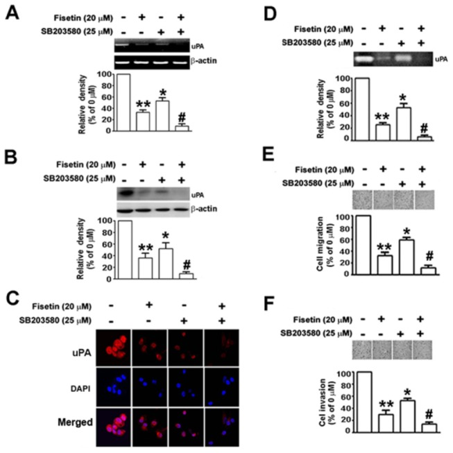 Effects of the inhibitor of p38 MAPK on fisetin-induced inhibition of uPA expression, cell migration and invasion in SiHa cells. Cells were pretreated with or without 25 µM of a p38 inhibitor, SB203580 for 2 h, and then treated with or without 20 µM of fisetin, as indicated, for another 48 h. (A) The mRNA level of uPA after each treatment was examined by RT-PCR. (B) The protein level of uPA was determined by Western blotting. β-actin was used as the internal control. (C) Cells were fixed, permeabilized, and immuno-stained with anti-uPA antibody (red) and cell nuclei were counter-stained with DAPI reagent (blue). (D) The conditioned medium from each treatment was collected, and the uPA activity was determined by casein zymography. The migratory (E) and invasive (F) ability of SiHa cells after treatment were determined. Migrating and invading cells were photographed using phase-contrast microscopy. Bars show the value as mean ± S.E. from three independent experiments. *, P