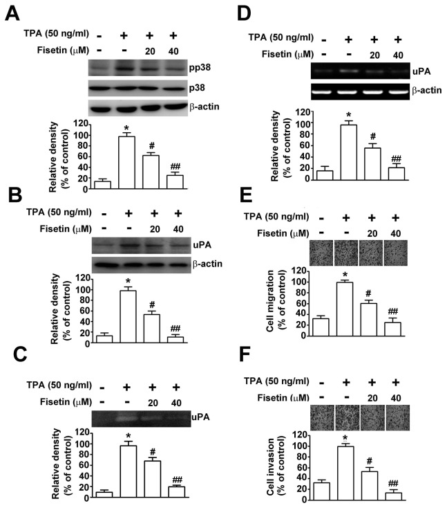 Effect of TPA on fisetin-induced inhibition of uPA expression, cell migration and invasion in SiHa cells. Cells were pretreated with or without fisetin for 2 h, and then treated with or without 50 ng/ml of TPA for 24 h. (A) The phosphorylated protein and total protein of <t>p38</t> <t>MAPK</t> were determined by Western blotting. (B) The mRNA level of uPA after each treatment was examined by RT-PCR. (C) The protein level of uPA was determined by Western blotting. β-actin was used as the internal control. (D) The conditioned medium from each treatment was collected, and the uPA activity was determined by casein zymography. The migratory (E) and invasive (F) ability of SiHa cells after treatment were determined. Migrating and invading cells were photographed using phase-contrast microscopy. Values represent mean ± SD of three independent experiments. *, P