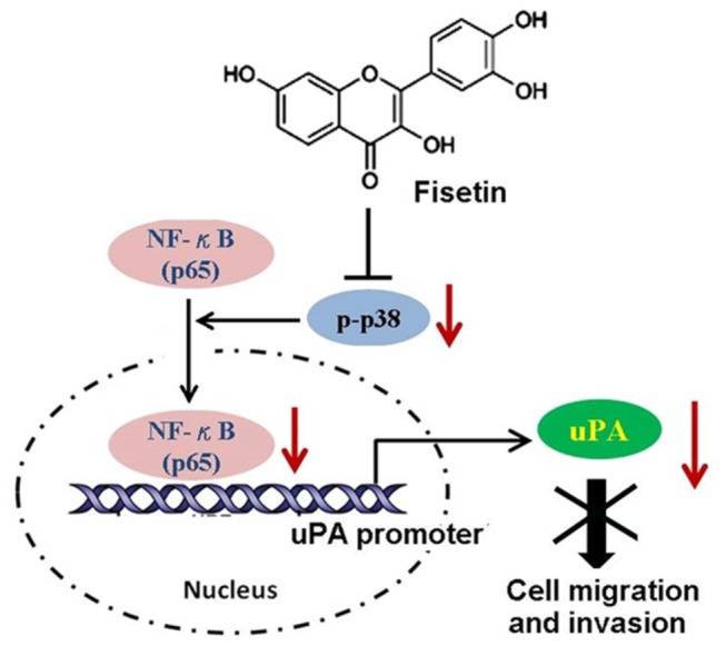 The proposed fisetin model in inhibiting the migration and invasion of cervical cancer cells. Fisetin inhibits the phosphorylation of p38 MAPK and impairs translocation of NF-κB to the nucleus. The decreased NF-κB in the nucleus reduces its binding on the promoter of the uPA gene, and results in repressing the expression and activity of uPA, thereby disrupting the migratory and invasive ability of cervical cancer SiHa cells.