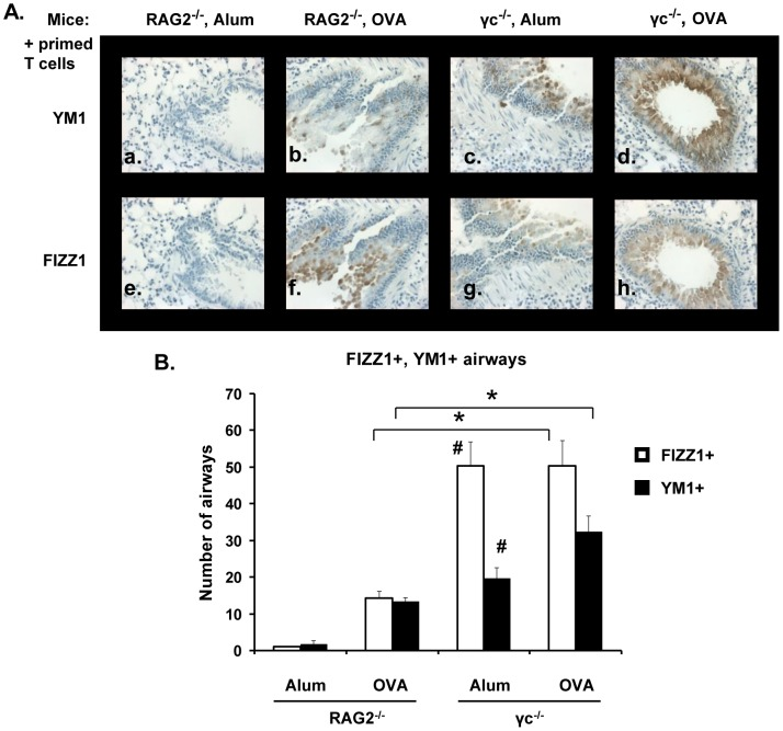 <t>FIZZ1</t> and YM1 expression in lung epithelial cells. Allergic lung inflammation was induced in RAG2 −/− and γ c −/− mice as mentioned in Fig. 1. FIZZ1 and YM1 expression was analyzed in serial sections of mouse lungs by immunohistochemistry. Photomicrographs (40X magnification) of YM1 (panels a-d) and FIZZ1 (panels e-h) expression in epithelial cells in representative lung sections are shown. (B) The number of YM1+ or FIZZ1+ airways in each group of mice was counted. Data represented as number of airways ± SEM. *p