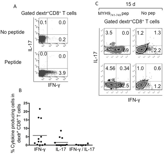 Polyfunctional CD8 + T effector memory cells specific to apoptotic epitopes in multiple sclerosis patients. (A) Representative flow cytometry analysis of peripheral blood mononuclear cells from a multiple sclerosis (MS) patient. Cells were incubated with or without the relevant peptides plus anti-CD28 mAb for 18 h at 37°C. Then cells were stained with dextramers complexed to corresponding peptides, phycoerythrin-cyanine-labeled mAb to CD8 and the dump channel reagents and processed for the detection of IL-17 and IFN-γ, by intracellular staining (ICS) assay with the relevant mAbs. Dot plot analyses are gated on CD8 + dextramer + cells and show percentages of cytokine-producing cells. The percentage of cells is reported in each quadrant. (B) Percentages of CD8 + dextramer + cells specific to the corresponding peptides producing IL-17, IFN-γ, or both within 18 h of contact with the relevant peptides in the 12 patients analyzed. (C) Representative flow cytometry analysis of an antigen-specific T cell line obtained upon 15 days stimulation with the non-muscle myosin heavy chain 9 (MYH9) 478-486 epitope and IL-2. Cells were stained with mAb to CD8, the indicated dextramers, and were then stimulated or not with the relevant soluble peptide plus anti-CD28 mAb for detecting IL-17 and IFN-γ production by ICS assay, as described above. Contourplot analyses are gated on CD8 + dextramer + cells and show percentages of cytokine-producing cells. Similar results were obtained in six patients tested with different apoptotic epitopes.