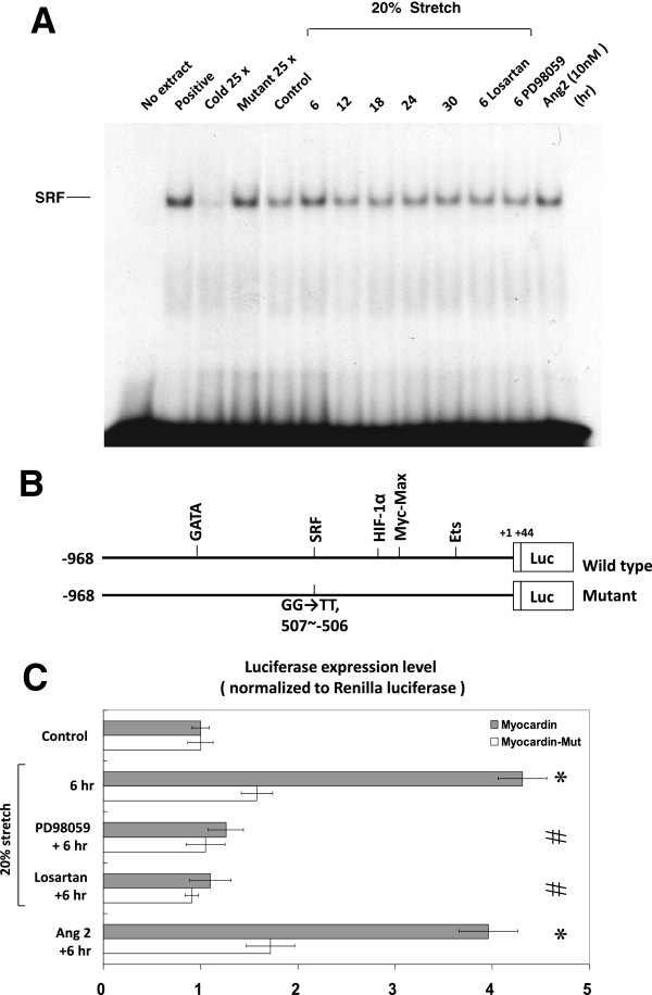 Effects of cyclic stretch on myocardin binding activity and promoter activity in VSMCs. Binding activity between myocardin and SRF and genetic transcription activity at SRF binding site of myocardin promoter increase in VSMCs under 20% cyclic stretch. ( A ) EMSA showed increased binding between myocardin and SRF under 20% cyclic stretch, which was suppressed by losartan and PD98059. Exogenous addition of AngII (10 nM) without cyclic stretch also increased the binding between myocardin and SRF. ( B and C ) Luciferase reporter assay revealed 20% cyclic stretch increased transcriptional activity at SRF binding sites of myocardin promoter when compared with the myocardin mutant, which was suppressed by PD98059 and losartan. Exogenous addition of AngII (10 nM) without cyclic stretch also increased the transcriptional activity in VSMCs. * P
