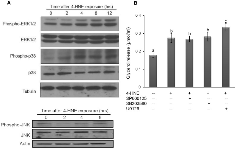 MAP kinases activation is not involved in 4-HNE-elicited lipolytic response. A, Fully-differentiated 3T3-L1 cells were treated with exogenous 4-HNE (20 microM) for indicated time points. The activations of the MAP kinases, including ERK1/2, p38, and JNK, were detected by immunoblotting. B, Fully-differentiated 3T3-L1 cells were pretreated with specific kinase inhibitors for ERK1/2 (U0126, 10 microM), JNK <t>(SP600125,</t> 10 microM), and p38 (SB203580, 10 microM) for 1 hours, followed by exogenous 4-HNE (20 microM) exposure. Glycerol releases were measured 6 hours later. All values are denoted as Means ± SD from three or more independent batches of cells. Bars with different characters differ significantly (p