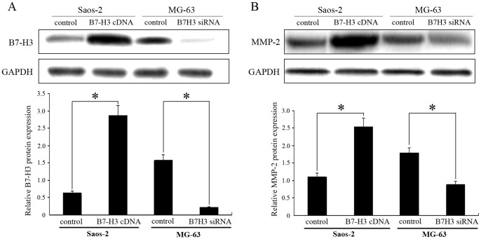 Overexpression or silencing of B7-H3 expression regulates the expression of MMP-2 in osteosarcoma cells with western blot analysis. GAPDH was used as an internal control. Histogram represents densitometric analysis of the ratio of B7-H3, MMP-2 and GAPDH bands. Experiments were repeated at least 3 times and the mean value was calculated. * p