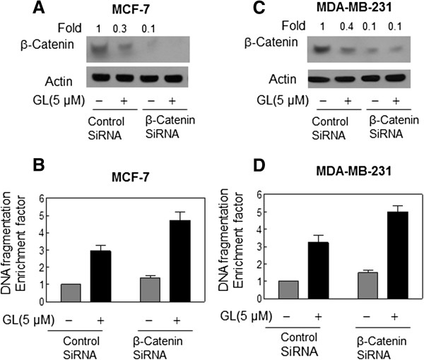Immunoblotting for β-Catenin using lysates from MCF-7 (A) or MDA-MB-231 (C) cells transiently transfected with a control nonspecific siRNA or β-Catenin -targeted siRNA and treated for 24 h with DMSO or 5 μmol/L GL. The blots were stripped and reprobed with anti-actin antibody to ensure equal protein loading. The numbers on top of the immunoreactive bands represent changes in protein levels relative to DMSO-treated nonspecific control siRNA–transfected cells. Cytoplasmic histone-associated apoptotic DNA fragmentation in MCF-7 (B) or MDA-MB-231 (D) cells transiently transfected with a control nonspecific siRNA or β-Catenin -targeted siRNA and treated for 24 h with DMSO or 5 μmol/L GL. The results are expressed as enrichment factor relative to DMSO-treated control cells transiently transfected with the control nonspecific siRNA. Each experiment was done twice, and representative data from a single experiment are shown. Columns, mean ( n =3); bars, SE. *, P