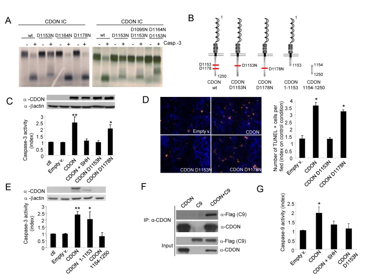 CDON triggers apoptosis through CDON proteolytic cleavage and recruitment and activation of caspase-9. (A) In vitro –translated CDON intracellular domain (CDON-IC) wild-type (wt) or mutated on one (left panel) or two (right panel) aspartic acid residues were incubated in the absence or in the presence of recombinant purified active caspase-3. Autoradiographs show the cleavage by caspase-3 of CDON-IC wt, whereas CDON-IC–D1153N was weakly cleaved and CDON-IC–D1153N–D1164N was almost completely resistant to cleavage. The band appearing in the CDON D1164N–D1153N probably represents a cryptic site. (B) Schematic representation of CDON and its different mutant constructs. CDON-main (D1153) and secondary (D1178) caspase cleavage sites are shown. (C–D) Apoptotic cell death induction as measured by caspase-3 activity (C) was quantified in HEK293T cells transfected with wild-type (CDON) full-length or mutated full-length CDON expression plasmids and by TUNEL (D) staining was quantified in HEK293T cells transfected with wild-type (CDON) full-length or mutated full-length CDON expression plasmids. Quantifications of TUNEL positive cells (orange) and nuclei (Hoechst in blue) are shown. (E) Apoptotic cell death induction as measured by caspase-3 activity was quantified in HEK293T cells transfected with constructs encoding full-length CDON or the CDON hypothetical fragments resulting from its cleavage by caspase at D1153 (CDON1–1153 and CDON 1154–1250). (F) HEK293T cells were transfected with constructs encoding CDON and/or caspase-9 and cell lysates were subjected to immunoprecipitation with a CDON-specific antibody. CDON and caspase-9 proteins were detected by Western blot in immunoprecipitated and input fractions. (G) Caspase-9 activity was quantified in HEK293T cells transfected with wild-type (CDON) full-length or mutated full-length CDON (D1153N) expression plasmids. For (C–F) and (G), data are means of at least three independent assays. Error bars indicate s.d.