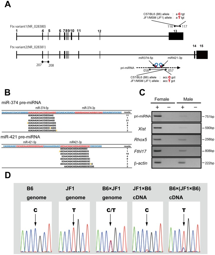 Verification of imprinting of two miRNAs predominantly expressed in female embryos. (A) Schematic representation of two mature miRNAs, miR-374-5p and miR-421-3p and their preceding transcript pri-miRNA. Both miRNAs were clustered and located in the intron of the Ftx (B230206F22Rik) gene on the X chromosome. Both are thought to be transcribed as pri-miRNAs and then processed to form mature miRNAs. The location of the primers used to assess the pri-miRNA and Ftx expression levels are indicated: qRT–PCR primers 207 and 208 were used for Ftx ; primers used for allelic discrimination were 057 and 058 for pri-miRNA, 116 and 117 for Ftx . The exons for Ftx are numbered according to a previous report [22] . DNA polymorphisms used for allelic discrimination are indicated with red characters. PCR primers correspond to the list in Table S3 (B) Production of mature miRNAs from pre-miRNAs in female blastocysts. Although two mature forms of miRNA, miR-374-5p/miR-374-3p and miR-421-5p/miR-421-3p are registered in miRBase, only miR-374-5p and miR-421-3p were detected at the blastocyst stage. Orange coloring shows mismatch sequences compared with the reference sequences, suggesting miRNA editing or misreading by the 454 sequencer. (C) Expression of pri-miRNA in wild-type male and female blastocysts obtained from the uterus. Female-predominant expression was observed as well as previously reported X-linked imprinted genes such as Xist and Rhox5 . (D) Verification of imprinting of the pri-miRNA for miR-374-5p and miR-421-3p in preimplantation mouse embryos. Pri-miRNA was expressed from the paternal B6 allele in JF1× C57BL/6 crosses and from the paternal JF1 allele in the reciprocal B6× (JF1× B6) cross. The arrows indicate the polymorphism sites that were used in this assay.