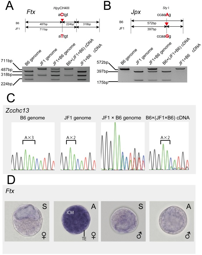 Allelic expression analysis of female-expressed genes at the blastocyst stage. (A) Verification of imprinting in the Ftx gene. Upper: schematic representation of the position of the DNA polymorphism in the Ftx gene. The single nucleotide polymorphism detected in C57BL/6: B6 (aCtgt) and JF1/Ms: JF1 (aTtgt) is shown. The Hpy CH4III site in the B6 allele was changed in the JF1 allele. These alleles could be distinguished by digestion with Hpy CH4III. Lower: the imprinted expression of Ftx from the Xp chromosome was determined by qRT–PCR and restriction fragment length polymorphism (RFLP) analysis with inter-subspecific hybrid mouse F1 progenies. (B) Verification of Jpx imprinting. Upper: schematic representation of the position of the DNA polymorphism in the Jpx gene. The Sty I site in the B6 allele (ccaaAg) was changed in the JF1 allele (to ccaaGg). Lower: imprinted expression of Jpx from the Xp chromosome was determined by qRT–PCR and RFLP analysis with inter-subspecific hybrid mouse F1 progenies. (C) Verification of the Zcchc13 imprinting. The single nucleotide insertion polymorphism detected in C57BL/6; B6 (triple A) and JF1/Ms; and JF1 (double A) is shown. The imprinted expression of Zcchc13 from the Xp chromosome was determined by sequencing analysis with inter-subspecific hybrid mice F1 progenies. (D) Whole-mount in situ hybridization of the Ftx gene in female and male blastocysts. 'S' indicates the sense strand probe and 'A' indicates the antisense strand probe. Abbreviation: ICM, Inner cell mass; TE, trophectoderm.