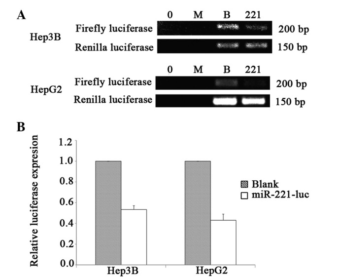 Knockdown efficacy evaluation of firefly luciferase by reverse transcription-polymerase chain reaction (RT-PCR). (A) Agarose gel electrophoresis of RT-PCR products. 0, no transfection control; M, Lipofectamine™ LTX mock control; B, empty vector pIRES2-EGFP control; 221, pIRES2-EGFP/miR-221-luc co-transfected sample (B) Quantitative analysis of RT-PCR result. Blank, empty vector pIRES2-EGFP control; miR-221-luc, pIRES2-EGFP/miR-221-luc co-transfected sample. Value represents the mean value of two experiments with standard deviation (SD).