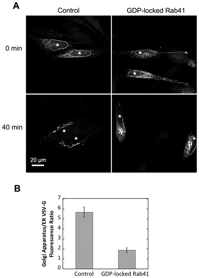 Overexpression of GDP-locked Rab41 partially inhibited VSV-G transport from ER to Golgi apparatus. Wild type HeLa cells were microinjected with either 25 ng/µl plasmid encoding the tsO45 mutant of VSV-G-GFP (Control) or a mixture of 100 ng/µl myc-tagged GDP-locked Rab41 encoding plasmid and 25 ng/µl tsO45 mutant of VSV-G-GFP encoding plasmid. After 24-h incubation at 39.5° C, VSV-G was accumulated in the ER (A, upper panel). Cells were then shifted to 32° C, permissive conditions for VSV-G transport, and incubated for 40 min in the presence of cycloheximide to prevent further protein synthesis (A, lower panel). Cells were then fixed and visualized by wide field light microscopy. At the end of a 40-min chase, Golgi accumulation of VSV-G was observed in both control and GDP-locked Rab41 overexpressing cells. However, VSV-G retention in the ER for GDP-locked Rab41 overexpressing cells was much higher than that in control cells (A, lower panel, and B). Successful co-injection was confirmed by antibody staining. All images shown or used for quantification were single-plane deconvolved. Error bars represent the mean ± SEM of ~20 injected cells. Asterisks mark injected cells.