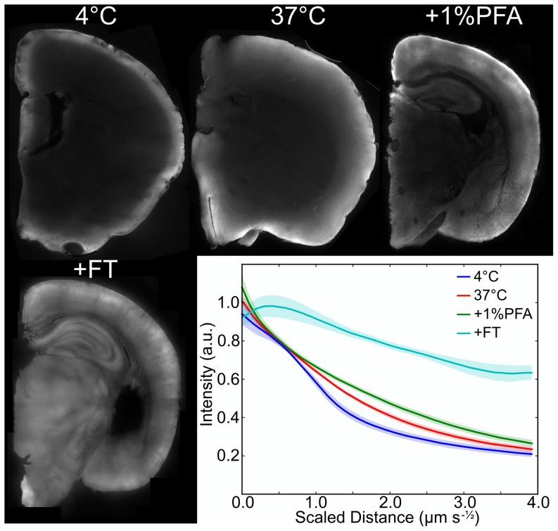 """Dextran-FITC diffusion in brain specimens. 50 µm slices from a 4 mm hemisphere """"stained"""" with dextran-FITC for 24 hours under different conditions as shown. Average one-dimensional intensity profiles from the edge of the tissue toward the center across several samples are shown at lower right with 90% confidence intervals. Samples processed for different lengths of time were combined by scaling the linear diffusion distance by the square root of time. The combination of increasing temperature, utilizing a 1% PFA fixation, and processing with a freeze/thaw, and proteinase K digestion (+FT) resulted in the biggest improvement to penetration."""