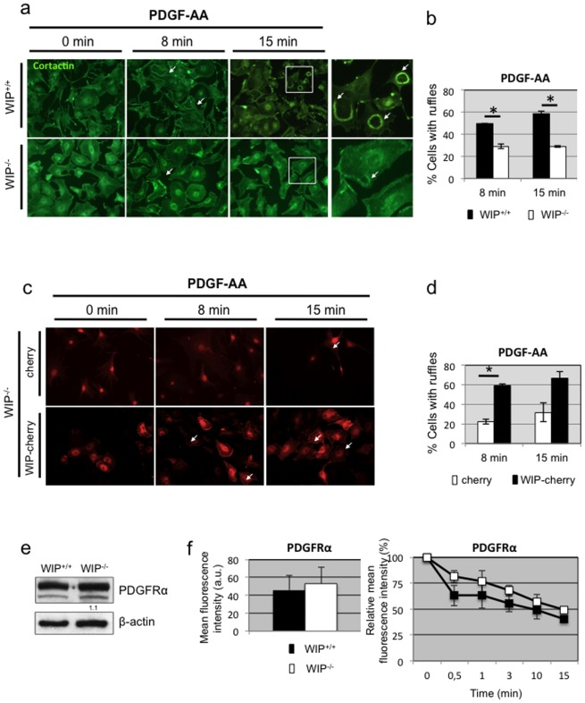 PDGF-AA-induced dorsal ruffle formation is diminished in WIP −/− fibroblasts. a Control (WIP +/+ ) and WIP −/− primary murine fibroblasts were serum starved over night (0 min) or serum starved and stimulated with PDGF-AA for increasing times (8 and 15 min). Fixed and permeabilised cells were stained with anti-cortactin and <t>FITC-secondary</t> antibody and imaged in a <t>Zeiss</t> microscope to identify dorsal ruffles (white arrow). Magnifications of the boxed areas are shown as right panels. b The percentage of WIP +/+ (black) and WIP −/− (white) cells forming dorsal ruffles after PDGF-AA stimulation is plotted against incubation times. c WIP −/− primary fibroblasts were lentivirally transduced to express control cherry or WIP-cherry, starved and incubated with PDGF-AA for 8 or 15 min. Fixed cells were imaged. d The percentage of WIP −/− cells expressing cherry (white) or WIP-cherry (black) and forming dorsal ruffles after PDGF-AA stimulation is plotted against incubation times. e Representative western blot of PDGFRα expression in soluble lysates of lung-derived fibroblasts from WIP +/+ and WIP −/− mice. Numbers indicate relative expression levels of the protein to control fibroblasts determined by densitometry. ß-actin labeling confirmed equivalent protein loading control. f WIP +/+ (black) and WIP −/− (white) primary fibroblasts were grown in the presence of serum (left panel) and stained with anti-PDGFRα plus labeled secondary antibody and analysed by FACS. The mean fluorescence intensity of positive cells in both populations is represented. Right panel, WIP +/+ (black) and WIP −/− (white) primary fibroblasts were starved (time 0) and stimulated with PDGF-AA and stained as above. Percent of mean fluorescence intensity relative to starvation is represented. Arbitrary units (a.u.). * p