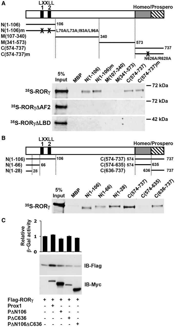 Both the N- and C-terminus of Prox1 are able to interact with RORγ. ( A ) MBP pull-down assays were performed using radiolabeled 35 S-RORγ (full-length), 35 S-RORγΔAF2 lacking the AF2 domain, 35 S-RORγΔLBD lacking the LBD and a series of MBP–Prox1 fragments, N(1-106), N(1-106)m, M(107-340), M(341-573), C(574-737) and C(574-737)m, as shown in the schematic. After incubation with amylose resin, MBP–Prox1 complexes were analyzed by PAGE, and radiolabeled RORγ was detected by autoradiography. Five percent of the input of each radiolabeled RORγ was loaded in the first lane. MBP was used as negative control. ( B ) MBP pull-down assays were performed using radiolabeled full-length RORγ ( 35 S-RORγ) and several N- and C-terminal fragments of Prox1, N(1-106), N(1-66), N(1-28), C(574-737), C(574-635) and C(636-737) as shown in the schematic. Samples were processed as described under A. ( C ) Loss of the N- and C-terminus of Prox1 diminishes its stabilizing effect on RORγ protein. HEK293 cells were transfected with pCMV10-3xFlag-RORγ and the pCMV-Myc-Prox1 or the pCMV-Myc-Prox1 mutant indicated and the level of RORγ and Myc-Prox1 protein examined by western blot analysis. Co-transfection with a β-Gal reporter indicated no significant difference in transfection efficiency between cells transfected with different Prox1 mutants.