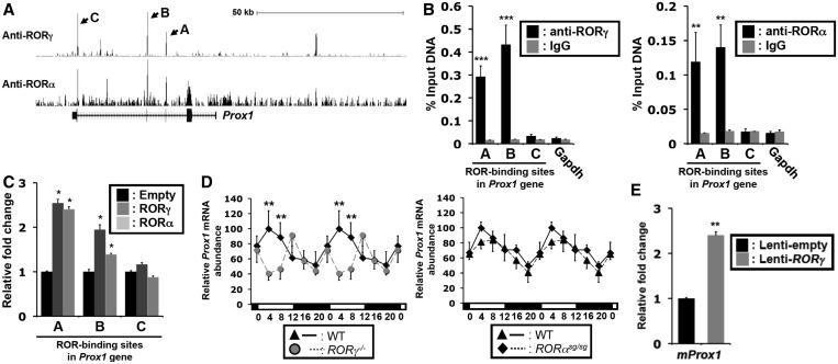 RORγ regulates the rhythmic expression of Prox1. ( A ) Genome-wide mapping of ROR-binding sites by ChIP-Seq analysis showed a strong association of both RORγ and RORα with several sites within the Prox1 gene in mouse liver. Arrows indicate the peaks corresponding to ROR recruitment. Gene tracks were taken from the UCSC Genome Browser using the mouse mm9 reference genome. A, B and C indicate peaks common to RORα and RORγ ChIP-Seq analysis. ( B ) ChIP–QPCR was performed using either anti-RORγ or -RORα antibody and chromatin prepared from the livers ( n = 4) collected from WT mice at ZT22. The putative ROR-binding sites A, B and C were amplified by ChIP–QPCR analysis. Amplification of Gapdh and a non-specific IgG antibody served as negative controls. Data represent mean ± SEM. ( C ) ROR enhanced the transactivation of the Luc reporter driven by the A and B sites. Huh-7 cells were co-transfected with pCMV-β-Gal, pCMV10-3× Flag-RORγ or -RORα and pGL4.27 reporter plasmid under the control of either the ROR-binding site A, B or C. Data represent mean ± SEM. ( D ) RORγ regulates the rhythmic expression of Prox1 . Circadian expression of Prox1 was analyzed by QRT–PCR in liver tissue isolated from WT, RORγ − / − or RORα sg/sg mice ( n = 4) every 4 h over a period of 24 h. The 24 h expression pattern was double-plotted. ( E ) Exogenous expression of RORγ in mouse primary hepatocyte ( n = 3) increased Prox1 transcription. Data represent mean ± SD, * P
