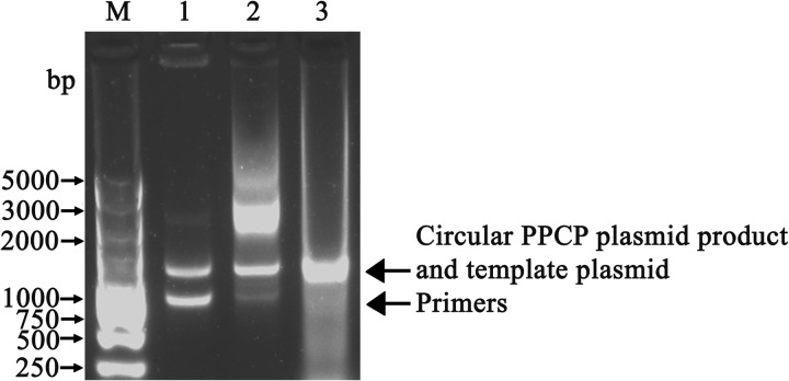 Agarose gel analysis of the thermostable DNA ligase-mediated PPCP using pHsh- amp as template. Lane M, DL5000 markers; Lane 1, control reaction containing template plasmid and primer but no Taq DNA polymerase or ligase; Lane 2, control reaction containing Taq DNA polymerase but no ligase; Lane 3, PPCP reaction containing both Taq DNA polymerase and Tma DNA ligase. The upper band in lane 2 is presumed to be linear PCR product. Incorporating the nick ligation step resulted in a nick-free, circular PPCP product (lane 3). The size of the PPCP primer pair was 962 bp.