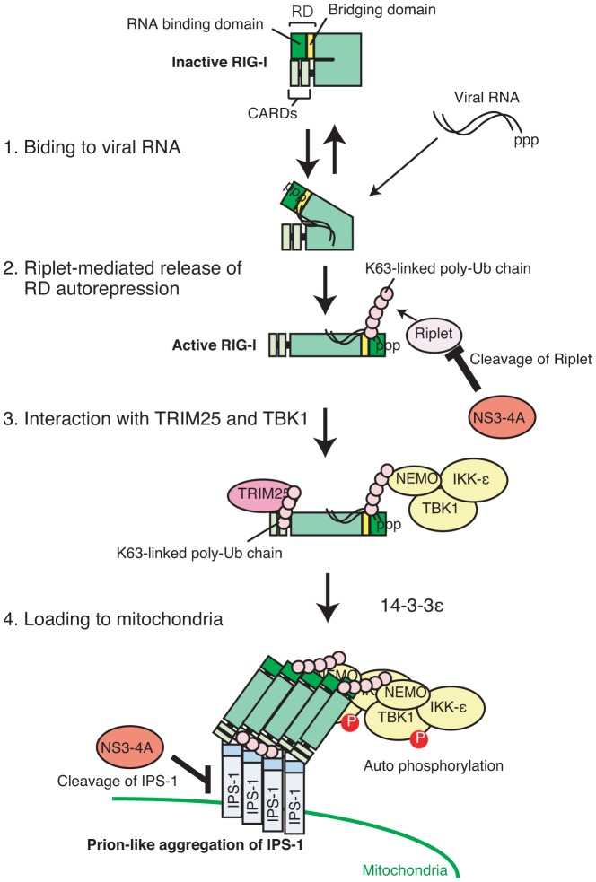 Model for Riplet-mediated RIG-I activation. In resting cell, RIG-I RD represses its CARDs-mediated signaling. When RIG-I CTD associates with viral RNA, Riplet mediates K63-linked polyubiquitination of RIG-I RD, leading to the association with TRIM25 and TBK1. K63-linked polyubiquitin chain mediated by TRIM25 induces RIG-I oligomerization and association with IPS-1 adaptor. TBK1 associated with RIG-I is activated on mitochondria.