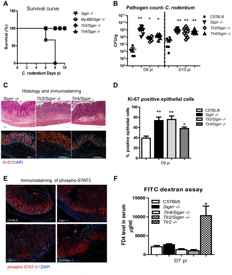 MyD88 signaling is required for the survival of infected Sigrr −/− mice. WT, Sigirr −/− , Myd88/Sigirr −/− , Tlr2/Sigirr −/− , and Tlr4/Sigirr −/− mice were infected by C. rodentium for 6 and 10 days. (A) Myd88/Sigirr −/− mice required euthanization by D8 pi whereas the other mouse groups survived the infection. (B) All mice on a Sigirr −/− background carried significantly heavier pathogen burdens and (C) showed more severe colitis compared to WT mice at D6 and D10 pi. (C–D) Immunostaining for the proliferation marker Ki-67 demonstrated infected Sigirr−/− , Tlr2/Sigirr −/− and Tlr4/Sigirr −/− display elevated IEC proliferation compared to WT mice. (E) phospho STAT-3 staining is restored in Tlr2/Sigirr −/− mice, while (F) the heightened barrier disruption seen in infected Tlr2−/− mice is normalized in Tlr2/Sigirr −/− mice. Pathogen counts represent mucosal associated bacteria. Results are pooled from 2–3 independent infections, each with n = 3–4 per group. Error bars = SEM, (Student t test (Figure B, D) and one way ANOVA (Figure D), *P