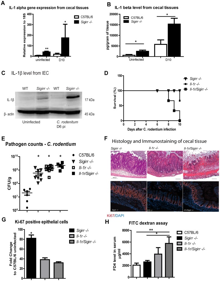 IL-1R signaling is required for the exaggerated IEC responses in Sigirr −/− mice. The cecal tissues from infected Sigirr −/− mice show increased abundance of IL-1α gene transcripts (A) as compared to WT mice. The Sigirr −/− mice also express increased levels of IL-1β protein in their cecal tissues under uninfected and C. rodentium infected conditions as measured by (B) ELISA and (C) Western blot. Il-1r/Sigirr −/− mice exhibit increased (D) mortality rates, (E) elevated pathogen burdens and (F) severe mucosal damage. The severe damage suffered by the Il-1r/Sigirr −/− mice was accompanied by impaired IEC proliferation as shown by (G) immunostaining for Ki-67 and by higher IEC permeability as quantified by (H) FD4 in serum. Pathogen counts represent mucosal associated bacteria. Results are pooled from 2–4 independent infections with n = 3–4 per group. Error bars = SEM, (Student t test (Figure A, B, E), one-way ANOVA (Figure G, H), *P