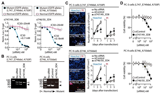 Oncogenic allele-specific RNAi. ( A ) Specific inhibition of mutant EGFR reporter alleles by ASP-RNAi. The effects of allele-specific siRNAs, si747/49_3D8 and si746/50_3D4, on expression of the target L747_E749del, A750P and E746_A750del EGFR mutant reporter alleles, respectively, and of the normal reporter alleles were examined using IC50 analysis (details in Methods). The IC50 values of the siRNAs for inhibition of the mutant and wild-type alleles are indicated (n=4, mean ± SDs). ( B ) Specific suppression of endogenous or oncogenic EGFR alleles. The si747/49_3D8 and si746/50_3D4 siRNAs were introduced into PC-3 and PC-9 human adenocarcinoma cells possessing the L747_E749del, A750P or E746_A750del mutations, respectively; endogenous EGFR mRNAs were examined using RT-PCR. Cells transfected with siControl (non-silencing siRNA) were studied as a control. M: DNA marker. ( C ) ASP-RNAi-mediated inhibition of PC-3 and PC-9 cell proliferation. Single siRNAs were transfected into PC-3 and PC-9 cells; subsequently, the cells were stained with Hoechst 33342 (blue) and propidium iodide (PI) (red) at the indicated time points, and examined using a fluorescent microscope. The numbers of total and dead cells were counted in four different 1-mm 2 areas. The data are averages of the four counts (± SDs; * P