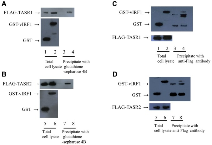 Interactions of vIRF1 with TASR1 or 2 in vivo. (A) 293 T cells were cotransfected with GST or GST-vIRF1 and Flag- TASR1 expression plasmids. Cells were lysed with EBC buffer, and cell extracts incubated with glutathione sepharose 4B beads. GST fusion and Flag fusion proteins were detected using western blotting with anti-GST (top panel) and anti-Flag antibodies (bottom panel), respectively. Lanes 1, 3, GST and Flag-TASR1; 3, 4, GST-vIRF1 and Flag-TASR1 (B) 293 T cells were cotransfected with GST or GST-vIRF1 and Flag-TASR2 expression plasmids and subjected to similar experiments as those specified in Panel A. Lanes 5, 7, GST and Flag-TASR2; Lanes 6, 8, GST-vIRF1 and Flag-TASR2. (C) Reciprocal assay for Panel A. 293 T cells were cotransfected with GST or GST-vIRF1 and Flag-TASR1 expression plasmids. Cell extracts were incubated with anti-Flag antibody and precipitated with protein G-Sepharose beads for 1 h. GST fusion and Flag fusion proteins were detected by western blotting with anti-GST and anti-Flag antibodies respectively. Lanes 1, 3, GST and Flag-TASR1; Lanes 2, 4, GST-vIRF1 and Flag-TASR1 (D) Reciprocal assay for Panel B. 293 T cells were cotransfected with GST or GST-vIRF1 expression plasmid and Flag-TASR2, and subjected to similar experiments as those specified in panel C. Lanes 5, 7, GST and Flag-TASR1; Lanes 6, 8, GST-vIRF1 and Flag-TASR1.