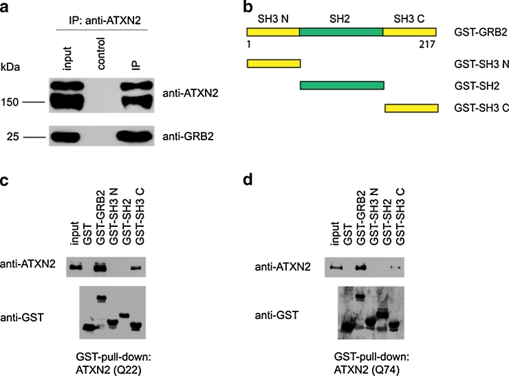 Co-IP analysis of the ATXN2–Grb2 complex. a Endogenous ATXN2 is associated with endogenous Grb2 in mouse brain. Brain homogenates were fractionated by differential velocity centrifugation. The cytosolic fraction was utilized to carry out coimmunoprecipitation assays with anti-ATXN2 antibody and the corresponding Ig isotype as control. Immunoblotting was performed using antibodies against ATXN2 and Grb2. ( b – d ) Grb2 interacts with ATXN2 through its C-terminal SH3 motif. b Diagram of human Grb2 and its different domains. c Myc-ATXN2 overexpressed in HEK-293 cells was incubated with GSH affinity beads charged with GST-Grb2 or fusions with its respective subfragments. Loading density of GST or GST-fused proteins on the affinity beads was controlled with anti-GST antibody. d A repetition of this experiment with overexpressed mutant ATXN2 (Q74) yielded identical results