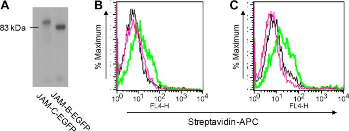 Binding of biotinylated JAM-B–EGFP and JAM-C–EGFP chimeras to CHO cells expressing JAM-B and JAM-C. (A) Western blot of biotinylated JAM-C or JAM-B probed with streptavidin–alkaline phosphatase shows the presence of a single species for each protein at the expected molecular weight. (B) Wild-type CHO cells (black line) or CHO cells expressing JAM-B (red and green lines) were incubated with either biotinylated JAM-C–EGFP (black and green lines) or biotinylated JAM-B–EGFP (red line) at 1 μg/ml. Binding was detected with streptavidin–APC, and cells were analyzed by flow cytometry. (C) Wild-type CHO cells (black line) or CHO cells expressing JAM-C (red and green lines) were incubated with either biotinylated JAM-B–EGFP (black and green lines) or biotinylated JAM-C–EGFP (red line). Binding was detected with streptavidin–APC, and cells were analyzed by flow cytometry. (For interpretation of the references to color in this figure legend, the reader is referred to the Web version of this article.)