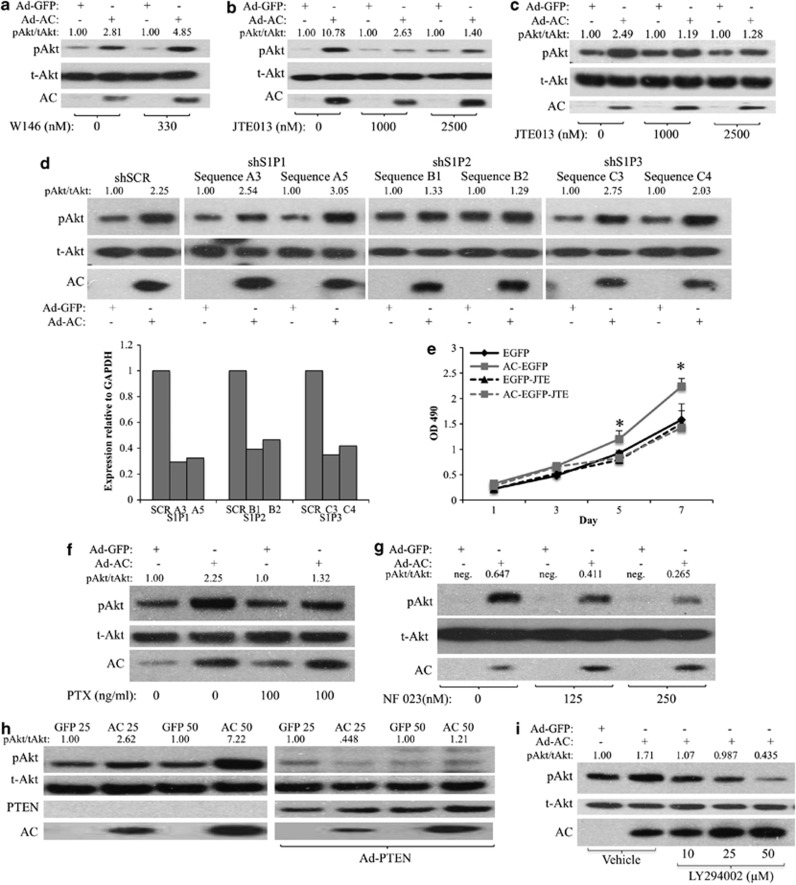 S1PR2 stimulates PI3K to activate Akt. ( a and b ) PPC1 cells were infected with Ad-AC or Ad-GFP. After 6 h, cells were treated with the indicated dose of either ( a ) <t>W146</t> or ( b ) JTE013. After 48 h of infection, cells were analyzed by western blotting. ( c ) WT MEFs were infected with Asd-AC or Ad-GFP (MOI 100). After 6 h, cells were treated with the indicated dose of JTE013. After 48 h, cells were collected for western blotting. ( d ) PPC1 cells were transfected with nontargeting (SCR) or S1PR1–3-targeting shRNA vectors. After 6 h of transfection, cells were infected with Ad-GFP or Ad-AC. After 48 h of infection, cells were analyzed by western blotting and qRT–PCR. ( e ) DU145 EGFP and AC-EGFP cells were plated at low density in 96-well plates in the presence or absence of 1 μℳ JTE013, and analyzed by MTS assay on the indicated days. Statistical analysis was performed using a one-way ANOVA with Bonferroni correction, * P