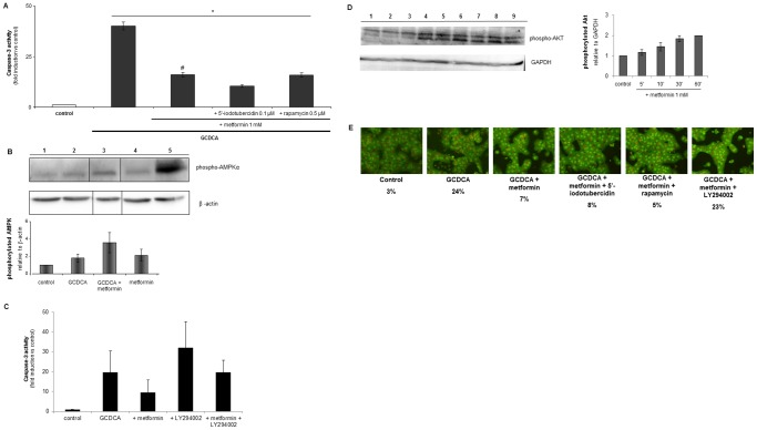 The protective effect of metformin involves the PI3-kinase/Akt pathway, but not the <t>AMPK/mTOR</t> pathway. (A) Primary rat hepatocytes were exposed to GCDCA (50 µmol/L) and metformin (1 mmol/L) for 4 hrs with or without <t>5′-iodotubercidin</t> (0.1 µmol/L), an inhibitor of AMP-activated protein kinase, and the mTOR inhibitor rapamycin (0.5 µmol/L). Caspase-3 like activity is presented as fold induction compared to control values; control values were set at one. Data are presented as mean of at least three independent experiments +/−S.E.M. Statistical analysis: * p