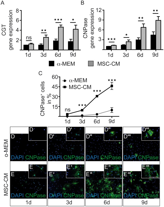 MSC-CM leads to enhanced early myelin expression. Determination of transcript levels by means of quantitative real-time RT-PCR. ( A ) Upregulation of ceramide galactosyltransferase (CGT) expression was detected after three, six and nine days in culture, ( B ) whereas gene expression levels of CNPase were elevated at every measured time point. Glyceraldehyde-3-phosphate dehydrogenase (GAPDH) expression was used as reference. ( C ) In addition, an increased percentage of CNPase-expressing OPCs was observed among MSC-CM treated cells as compared to cells grown in α -MEM. Significant differences were detected from day three onwards. ( D–E''' ) Representative immunofluorescent stainings of CNPase expressing OPCs at all four-time points of investigation. Data are shown as mean values ± SEM and derive from n = 8 (CGT), n = 8 (CNPase, q-RT-PCR) and n = 4 (CNPase, immunostainings) experiments. t-test (* P