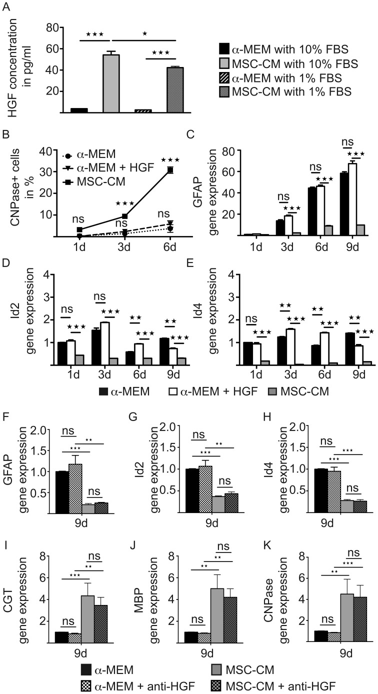 HGF does not mimic MSC-CM mediated cellular effects. ( A ) Determination of HGF protein content in stimulation media by means of ELISA revealing a robust increase upon MSC conditioning. ( B ) No difference regarding CNPase positivity was observed among OPCs grown in α -MEM in the absence or presence of recombinant HGF, whereas MSC-CM reproducibly increased CNPase expression. ( C–E ) Determination of transcript levels by means of quantitative real-time RT-PCR. No significant differences regarding Id2, Id4 and GFAP transcript levels were observed among OPCs grown in α-MEM in the absence or presence of recombinant HGF. MSC-CM treatment significantly reduced transcript levels of all three genes at all time points. ( F–K ) Anti-HGF antibody mediated depletion experiments revealed no effect on astrocyte (GFAP, Id2, Id4) and oligodendroglial/myelin (CGT, MBP, CNPase) gene expression levels. Glyceraldehyde-3-phosphate dehydrogenase (GAPDH) expression was used as reference gene. All data are shown as mean values ± SEM derived from n = 3 experiments for each analysis. t-test (ns: not significant, * P