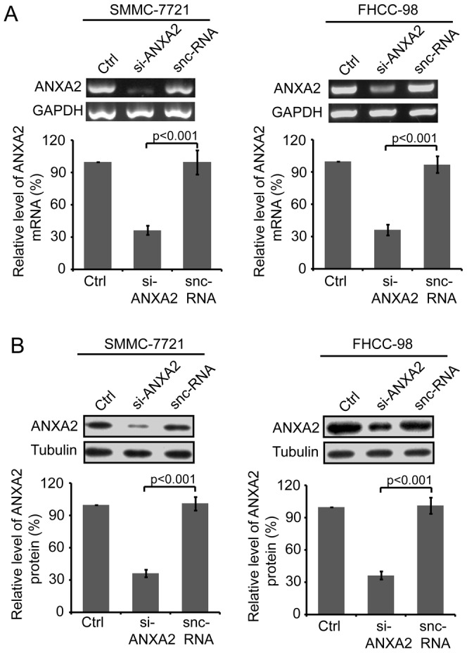 Expression of ANXA2 in HCC cells was effectively down-regulated by specific si-ANXA2. Forty-eight hours after the transfection of SMMC-7721 or FHCC-98 cells with si-ANXA2 or snc-RNA, ANXA2 expression levels were examined using RT-PCR (A) and Western blot (B). Top, representative image; bottom, quantitative gray scale analysis of at least three independent experiments. Columns, mean; bars, SD; p