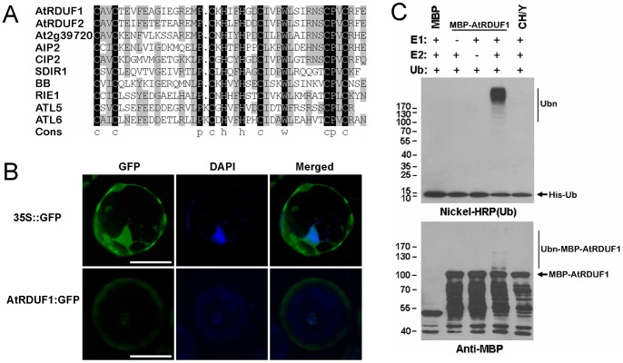 Analysis of the AtRDUF1 protein. (A) Alignment of the RING finger domains of the AtRDUF1 homologs in Arabidopsis . Black and gray indicate 100% and ≥50% identities, respectively. (B) Subcellular localization of AtRDUF1:GFP fusion protein in Arabidopsis leaf protoplast cells. Bars represent 20 μm. The green and blue fluorescenece are GFP and 4′,6-diamidino-2-phenylindole (DAPI) signals, respectively. (C) Verification of E3 ligase activity of AtRDUF1 by in vitro autoubiquitination assay. CH/Y represents the mutant form of the MBP:AtRDUF1 fusion protein, with substitution of metal ligand positions Cys-3, His-4, and His-5 of the RING motif with Tyr. The numbers at left denote the molecular masses of marker proteins in kilodaltons. Nichel-HRP (Ub), the nickel-horseradish peroxidase used to detect His-tagged ubiquitin. Anti-MBP, the anti-MBP antibody to detect maltose fusion proteins.