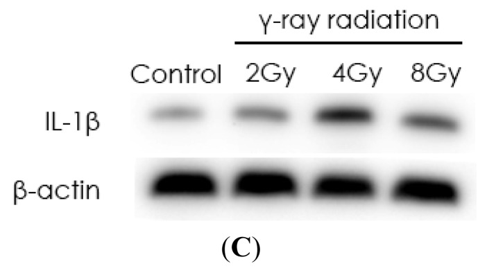 Radiation elevates <t>IL-1β</t> levels in MSCs after radiation. ( A ) Dose-dependent increase in IL-1β secretion and ( B , C ) dose-dependent increases in IL-1β mRNA and protein expression. Cells were exposed to various doses of radiation (0, 2, 4, and 8 Gy), and after 24 h, extracellular and intracellular protein and mRNA levels of IL-1β were determined by ELISA, Western blot, and quantitative real-time <t>PCR</t> analyses, respectively. The values are presented as the mean ± SD ( n = 3). * p
