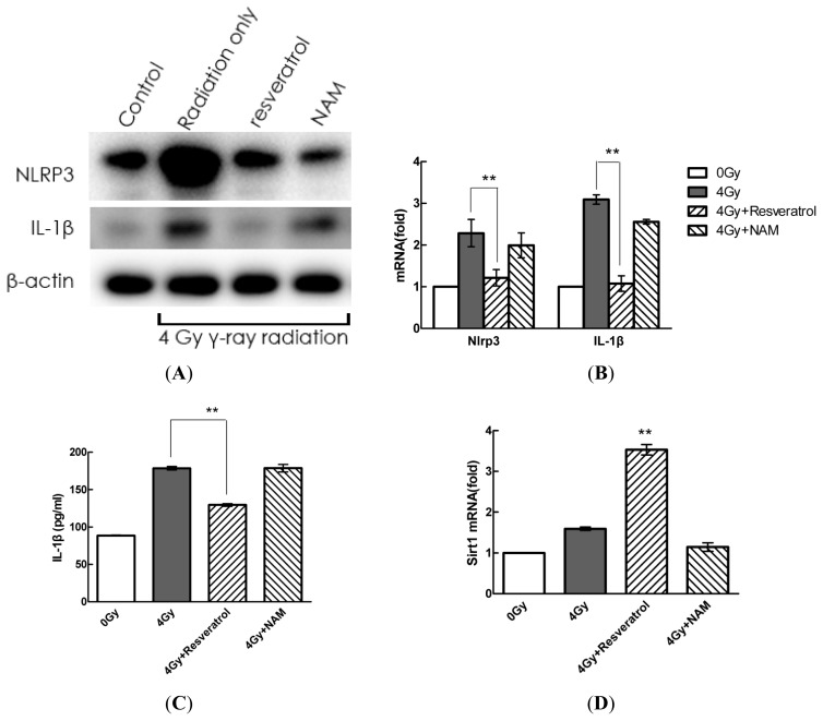 Pharmacological modulation of Sirt1-regulated radiation-induced NLRP3 and IL-1β expression in MSCs. ( A – D ) Cells were pre-treated with resveratrol (200 μM) or NAM (20 mM) and subsequently stimulated with radiation for 24 h. Then, extracellular and intracellular protein and mRNA expression of IL-1β were determined by ELISA, Western blot, and quantitative real-time PCR analyses, respectively. The values are presented as the mean ± SD ( n = 3). * p