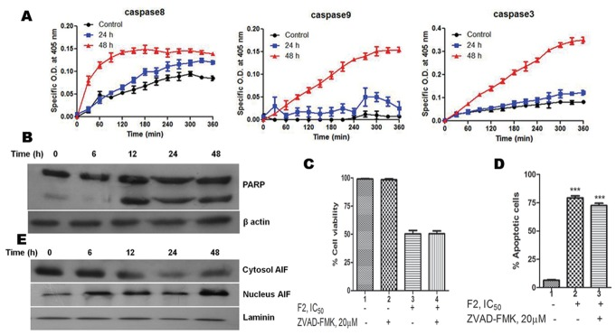 Involvement of caspase-dependent and caspase-independent modes of cell death. (A) Caspase activation. Activity of caspase-3, -8, -9 was measured in control and F2 (18.6 µg/ml) treated U937 cells (2.5×10 5 /ml) using colorimetric tetrapeptide substrates. Results are expressed as mean ± SEM from three independent experiments. (B) Cleavage of PARP by F2. Cell lysates were prepared and subjected to western blot analysis to check the cleavage of PARP. Data shown are from one of the three experiments. (C) Effect of pan caspase inhibitor on F2 induced cytotoxicity. Cells (2.5×10 4 /100 µl of RPMI 1640 medium/well) were pre-incubated with pan caspase inhibitor Z-VAD-FMK (20 µM; 4 h) followed by treatment with F2 (0–100 µg/ml; 48 h). Cell viability was evaluated by MTT assay. Histograms represent percentage cell viability (Mean ± SEM) obtained at the IC 50 concentration of F2 (18.6 µg/ml) and has been derived from at least three experiments in duplicate. (D) Effect of pan caspase inhibitor on F2 induced apoptosis. Cells were treated with F2 (18.6 µg/ml; 48 h) with or without pre-incubation using Z-VAD-FMK (20 µM; 4 h). They were co-stained with Annexin V-FITC and PI followed by analysis using flow cytometry. Histograms represent percentage of apoptotic cells and have been derived from at least three experiments (***p