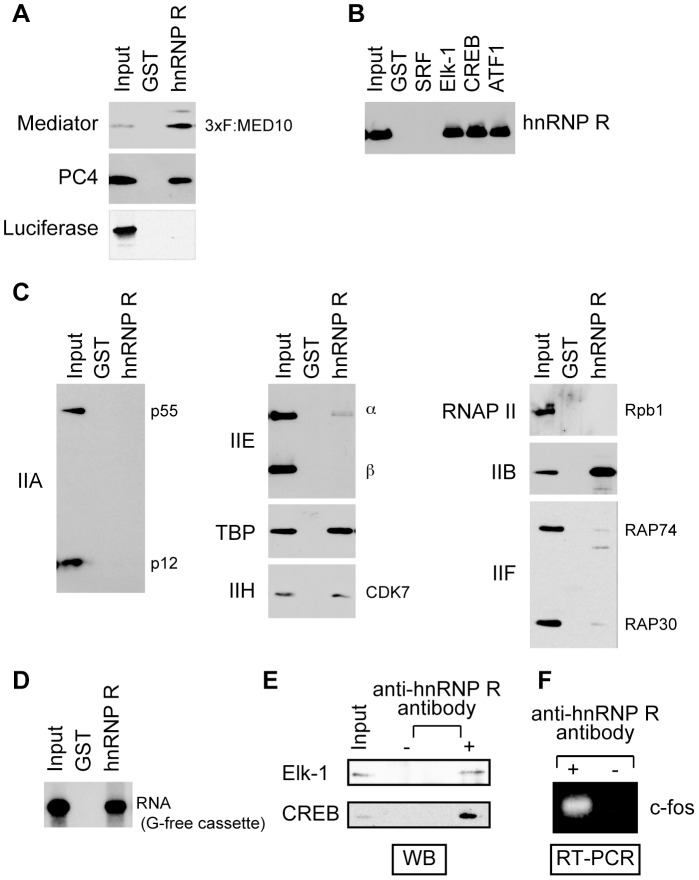 hnRNP R interacts with Mediator and other PIC components, as well as with the transcript RNA. GST pull-down assays were performed to test interaction between hnRNP R and Mediator or PC4 (A), interactions between hnRNP R and the activators (B) and interactions between hnRNP R and GTFs or Pol II (C). (D) The 32 P-labeled transcript RNA derived from the 390-nt G-free cassette was used to test interaction between hnRNP R and the transcript RNA. GST alone (A–D) and FLAG-tagged luciferase (A) were used as negative controls. (E) Immunoprecipitation was performed using HeLa nuclear extract with the anti-hnRNP R antibody. The proteins precipitated together with hnRNP R were analyzed by western blotting (WB) using anti-Elk-1 and anti-CREB antibodies. (F) RNA was extracted from the immunoprecipitate from HeLa nuclear extract with or without the anti-hnRNP R antibody, and then amplified by RT-PCR and analyzed on a 1% agarose gel.