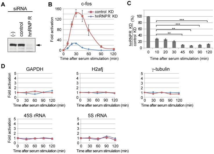 hnRNP R is required for transcriptional induction of the c-fos gene. (A) Mouse C3H10T1/2 cells were treated by siRNA for hnRNP R (hnRNP R) or control siRNA (control), and the levels of hnRNP R were analyzed by Western blotting using an anti-hnRNP R antibody. The cells that were not treated with siRNA are indicated by (-). (B) Total cellular RNAs were prepared from the siRNA-treated cells, and RT-qPCR assays were used to determine the effect of hnRNP R knockdown on the induction of the c-fos gene after serum stimulation. The expression levels of the α-tubulin gene were used to normalize those of the c-fos gene at each time point, and the expression levels before serum stimulation were used to calculate fold activation at each time point. The values were averaged from five independent experiments, and the error bars represent S.E. The followings are the p values when comparing the c-fos expression level after hnRNP R knockdown versus that after control knockdown at each time point: p = 0.028 (10 min), p = 0.006 (20 min), p = 0.007 (30 min), p = 0.012 (45 min), p = 0.049 (60 min), p = 0.05 (90 min) and p = 0.01 (12 0min). (C) The ratios of the c-fos expression level after hnRNP R knockdown against that after control knockdown were calculated. The followings are the p values when comparing the ratio at each time point versus that at 10min: p = 0.404 (20 min), p = 0.107 (30 min), p = 0.001 (45 min), p = 0.002 (60 min), p = 0.0006 (90 min) and p = 0.0002 (120 min). Two asterisks (**) indicate p
