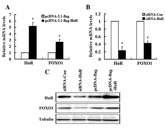 HuR positively regulates FOXO1 expression. MDA-MB-231 cells were seeded into 6-well plates and transfected with pcDNA-flag or pcDNA-flag-HuR plasmids and siRNA-Con or siRNA-HuR plasmids. (A and B) mRNA and (C) protein levels were determined by RT-PCR and western blot analysis, respectively. Tubulin was used as an internal control, and values are expressed as means ± SEM of at least three independent experiments. * P