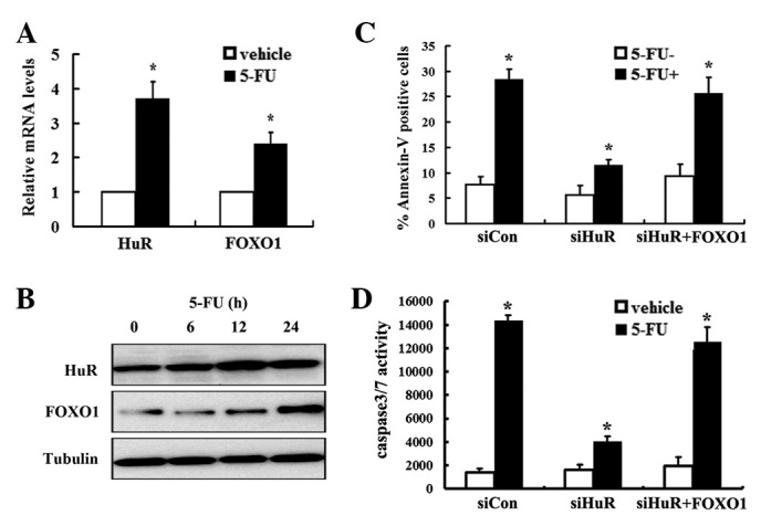 5-FU induces FOXO1 expression in a HuR-dependent manner. MDA-MB-231 cells were seeded into 6-well plates and treated with 5 μ g/ml 5-FU. At the indicated time, cells were collected and (A) RT-PCR and (B) western blot analysis were conducted to detect HuR and FOXO1 expression. (C) MDA-MB-231 cells were seeded into 6-well plates and transfected with siRNA-Con, siRNA-HuR and FOXO1 overexpression and control lentivirus, respectively. After 24 h, cells were treated with 5-FU. Following 24 h of incubation, the apoptotic cells were measured by PI and Annexin V-FITC staining and analyzed by flow cytometry. Values are expressed as mean ± SEM of at least three independent experiments. * P
