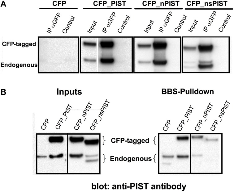 (A) Heteromerization of long and short forms of PIST. (A) GFP antibody was used to precipitate CFP-tagged PIST isoforms out of lysates of transfected HEK293 cells. PIST isoforms were detected using a polyclonal antibody against PIST. Bands compatible with both the GFP-tagged forms and with endogenous PIST were detected, indicating association between the transfected CFP-PIST and the endogenous one. (B) Co-precipitation of PIST isoforms with K V 10.1_BBS. Lysates of KV10.1_BBS-expressing cells were labeled with an α-BTX-biotin conjugate and pulled down with streptavidin-coated beads (see Figure 1 ). Anti-PIST specific antibodies detected co-immunoprecipitation of bands compatible with the corresponding CFP-tagged form, together with an endogenous PIST band.